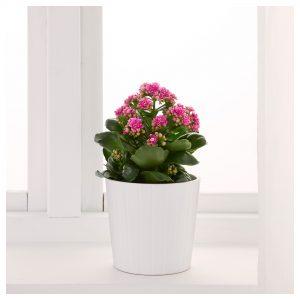 piante-bagno-kalanchoe