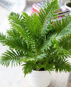 piante-bagno-felce