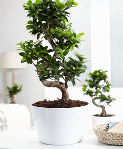 piante-bagno-ficus