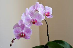 piante-bagno-orchidea